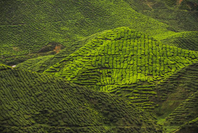 Hoofdfoto bij reisverhaal 'Wandelen in Kuala Lumpur en de frisse theeplantages van Cameron Highlands'