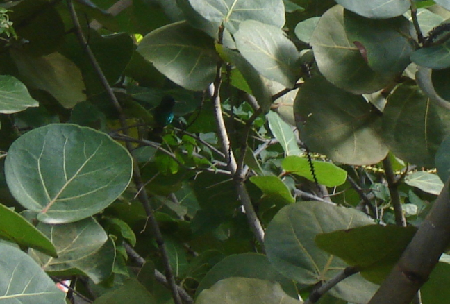 de kolibri