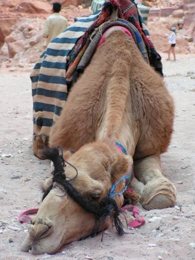 Een slapende kameel