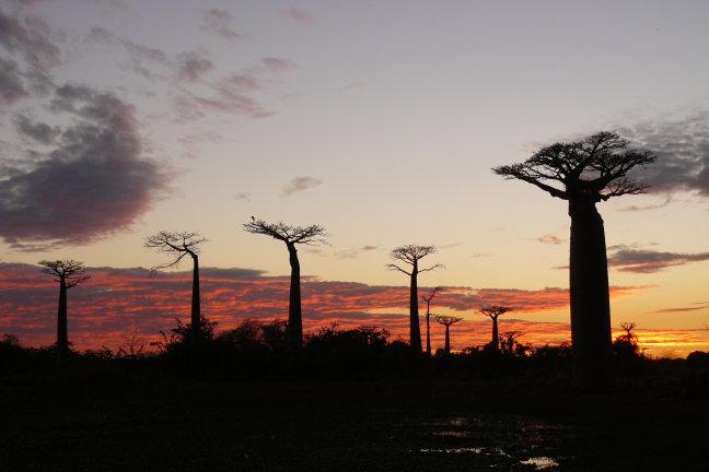 Morondava: Baobab Avenue