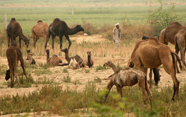 Kamelenkudde