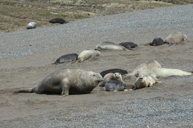 Zeeolifanten op Peninsula Valdés