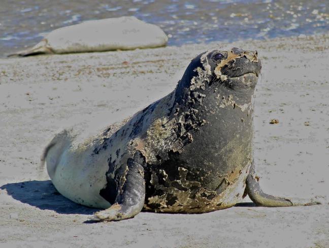 zeeolifantje