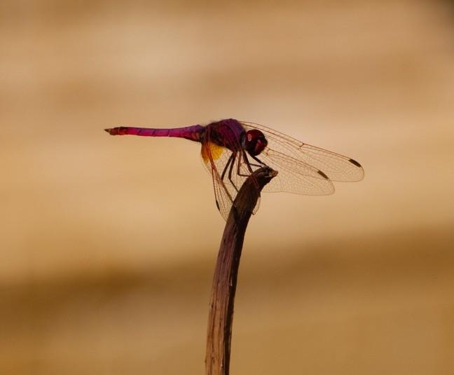 Libelle in de Hortus Botanicus