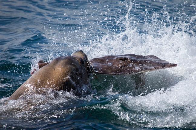 Zeeleeuw vangt pijlstaartrog