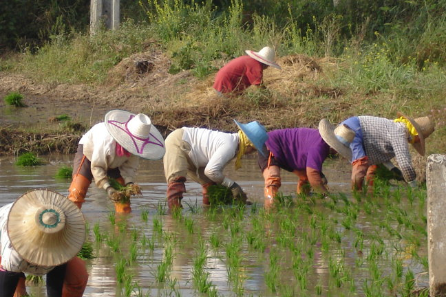 Rijstplantjes steken