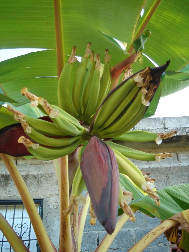 Bananen in de bloem