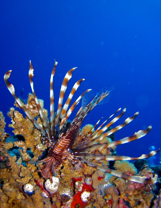 Lionfish in vol ornaat!
