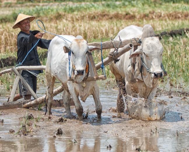Landwerk op de rijstvelden