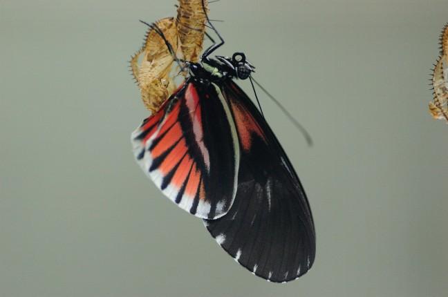 Vlinder, net uit de pop