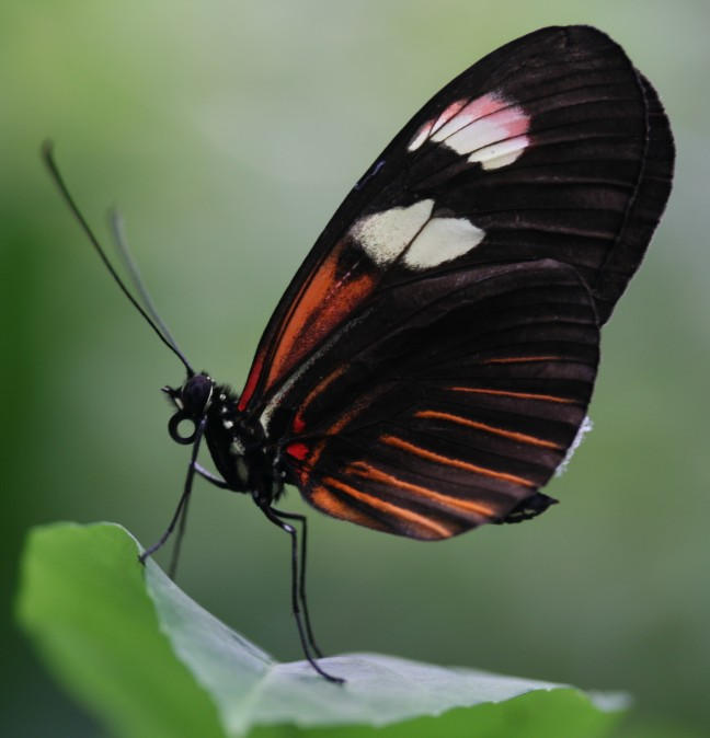 zwart rode vlinder