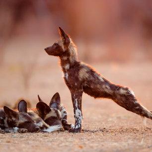 Wilde honden pubs ontwaken bij zonsopkomst in Mana Pools - Zimbabwe