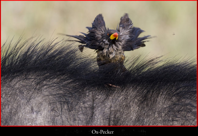 OX-Pecker