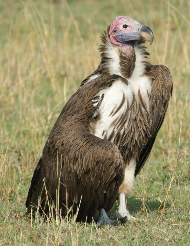 Lappet- faced vulture