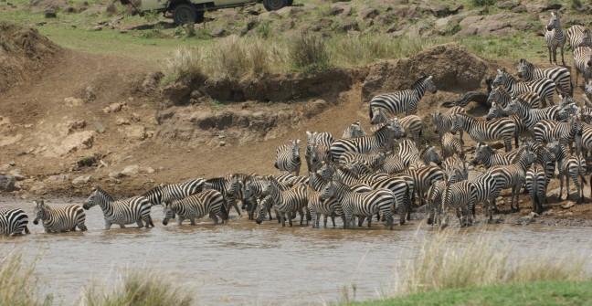Grote kudde zebra's