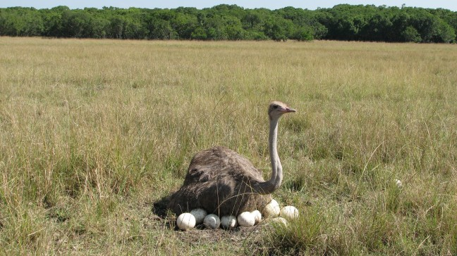 Struisvogel op nest eieren