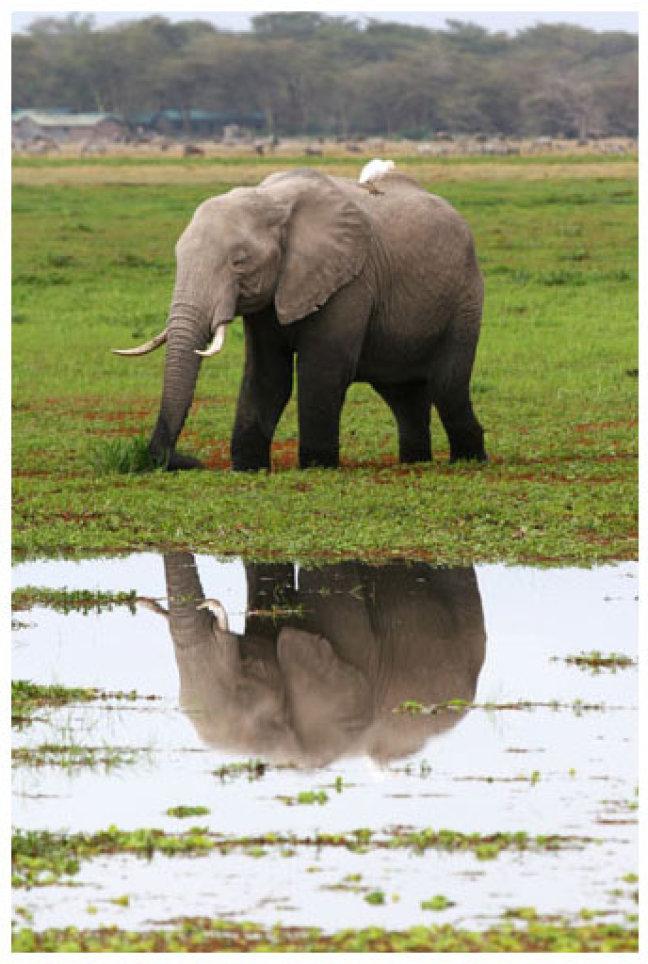 olifant en zijn reflectie