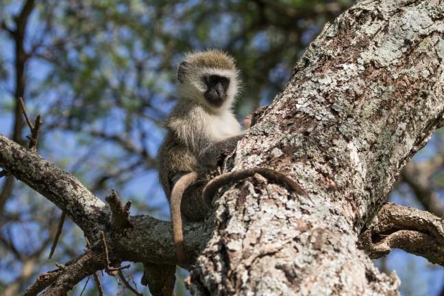 Vervet monkey met baby