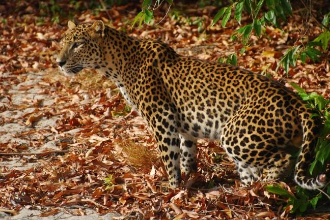 Luipaard in Wilpattu N.P.