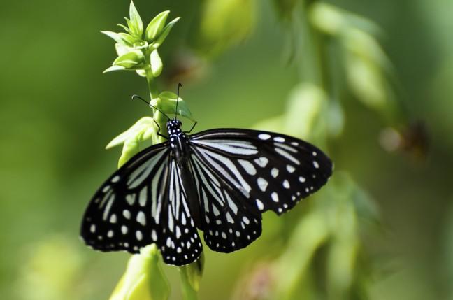 Vlinder in zwart/wit