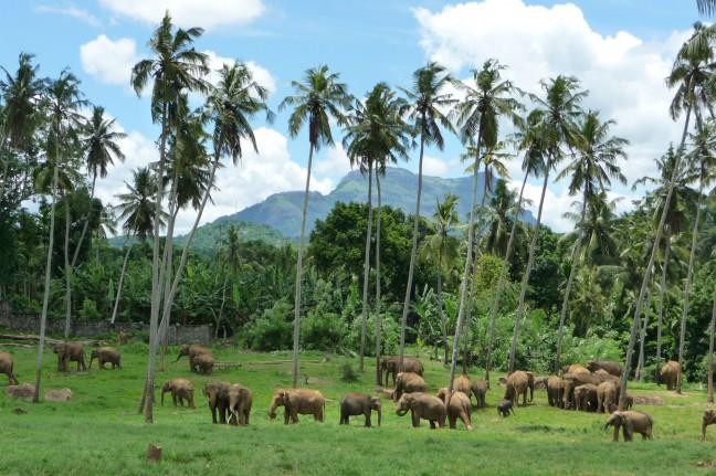 olifanten in Pinnawela
