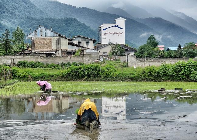 Rijstvelden in de Alborz