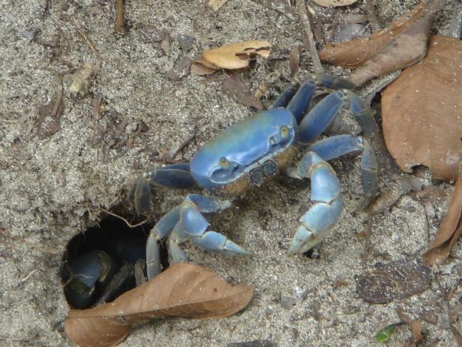 blauwe krab