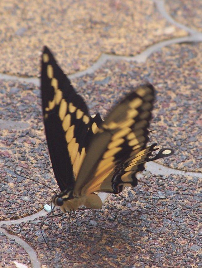 vlinder bij het zwembad