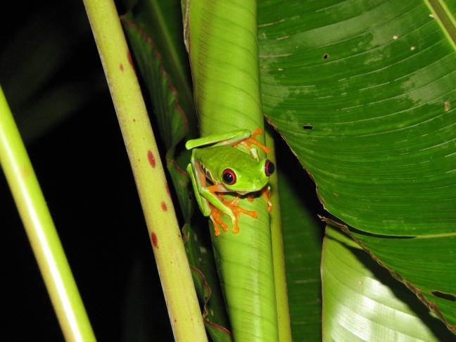 red eyed dart frog
