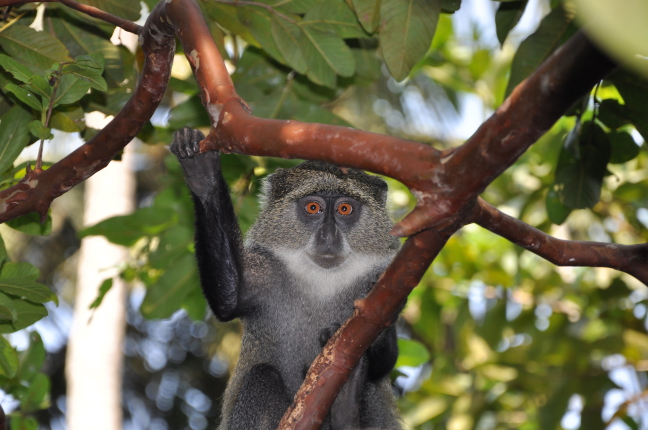Black Colobus Monkey