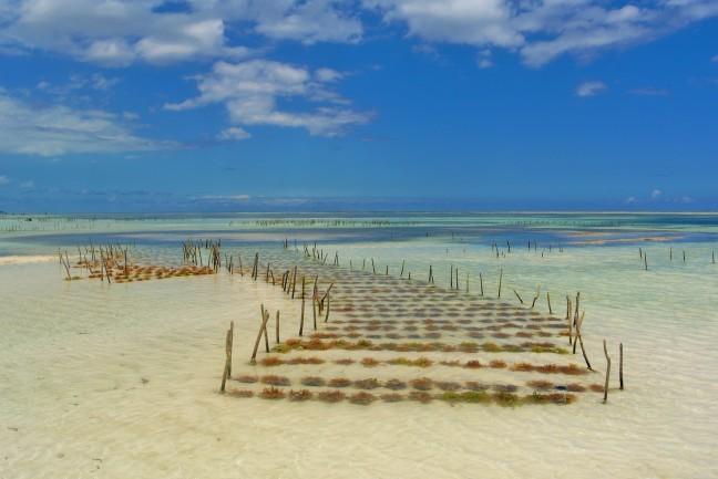 Zeewier van Zanzibar