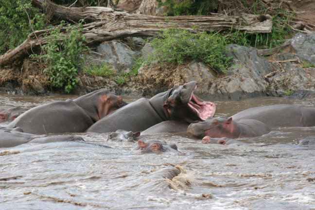 Luierende nijlpaarden