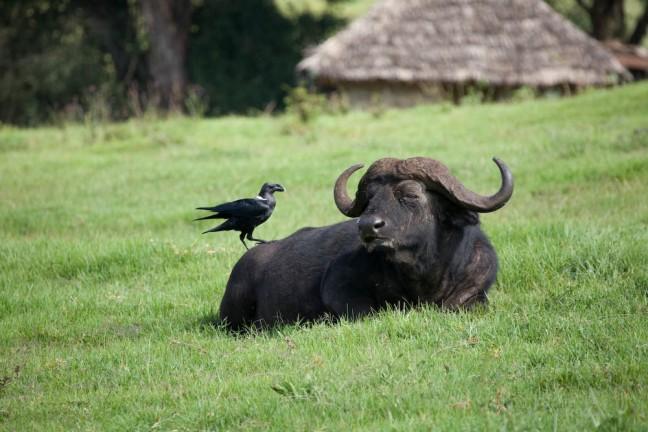 Buffel en kraai