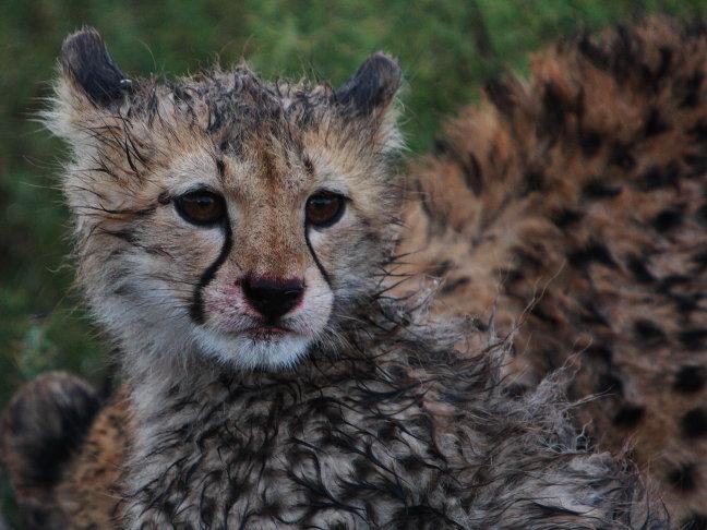 Cheetah welpje