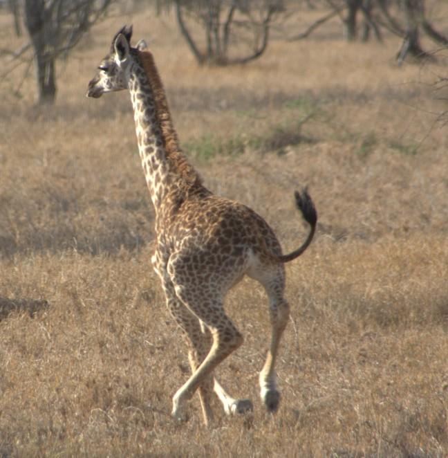 rennende giraffe