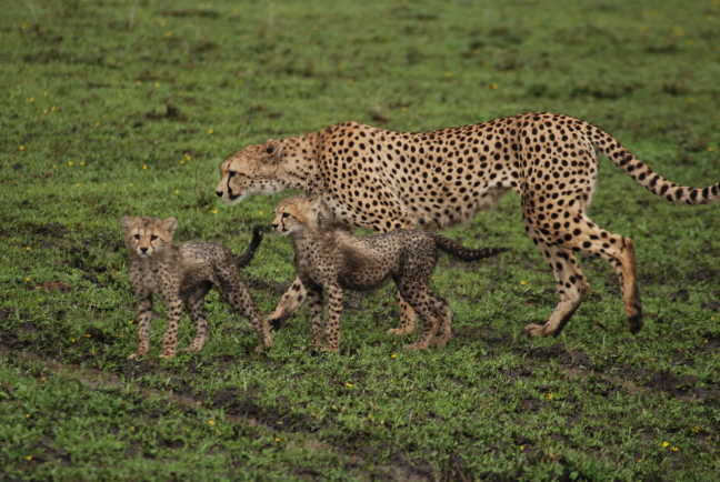moeder cheetah met pubs aan de wandel.jpg