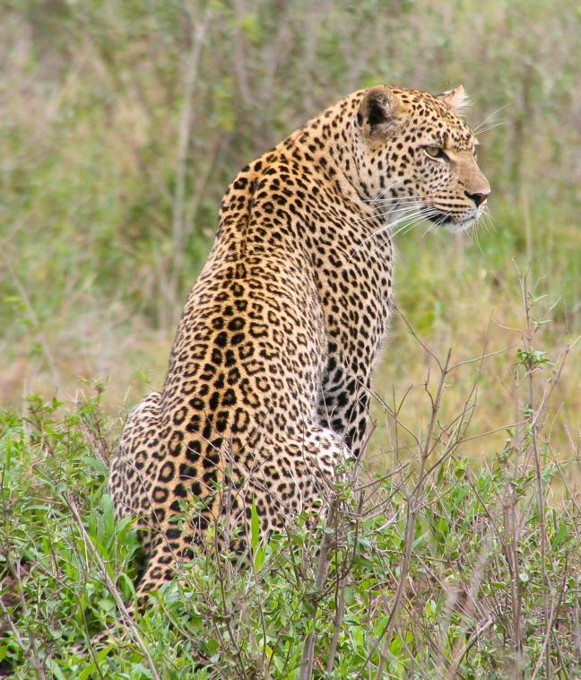 Luipaard in Serengeti