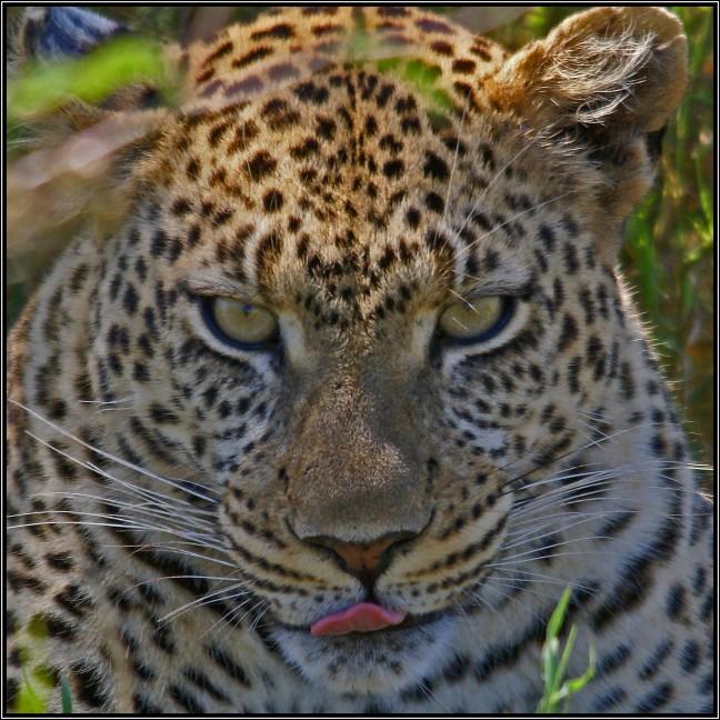 likkebaardend luipaard