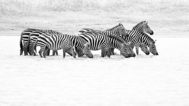 Zebra's bij drinkplaats