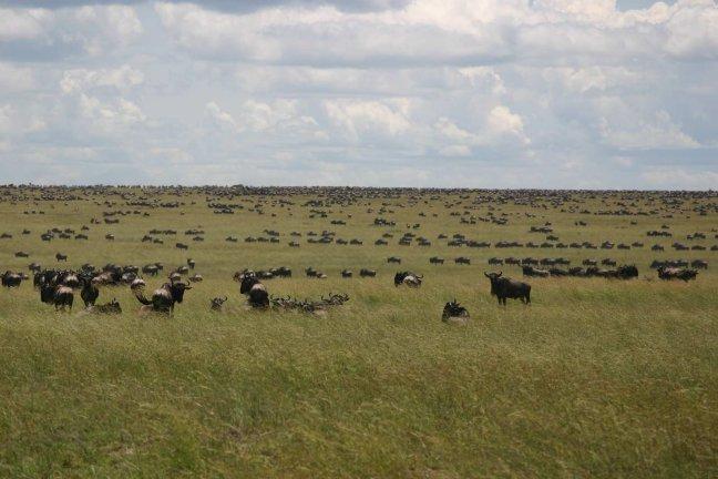 Wildebeesten Migratie