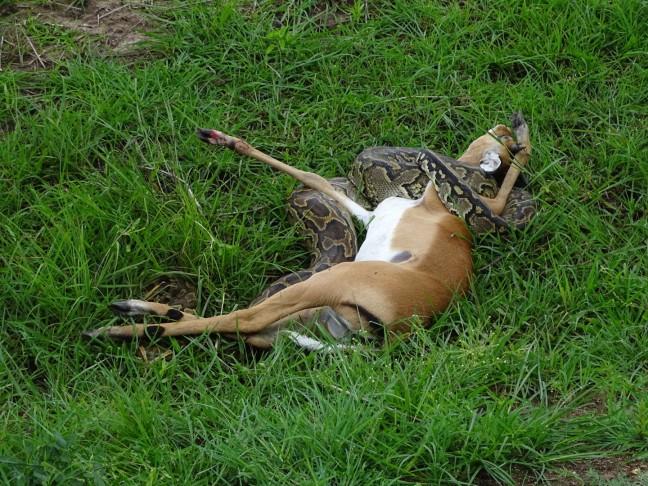 Impala gewurgd door python