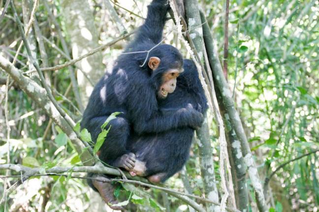 Spelende Chimpansees