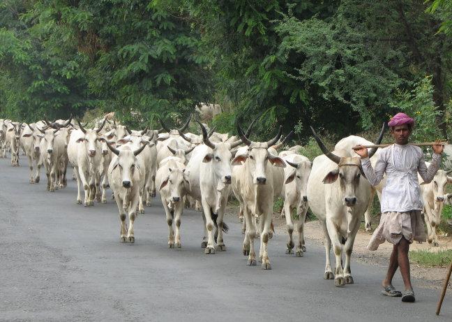 koeienhoeder