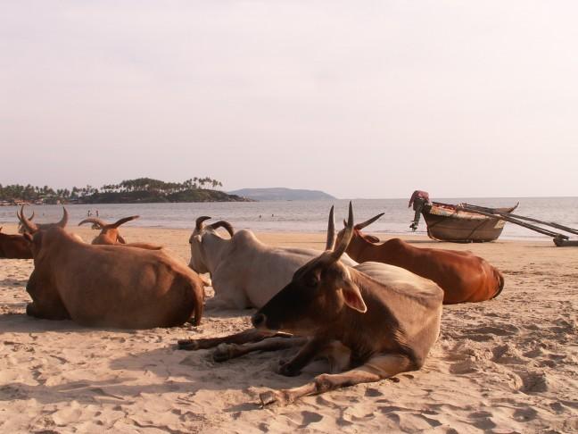 Heilige koeien op het strand