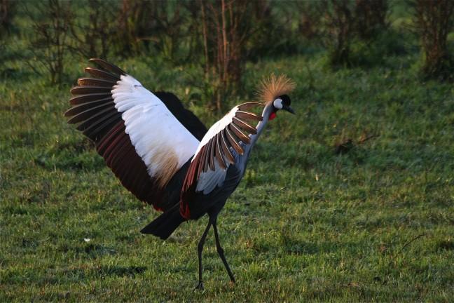 de nationale vogel van Uganda : de kraanvogel