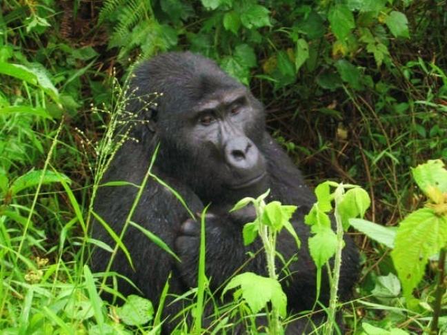 Berggorilla, Bwindi National Park