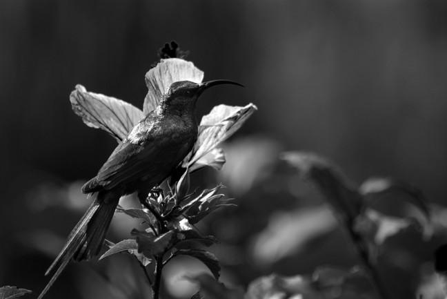 Kolibri in zwart wit