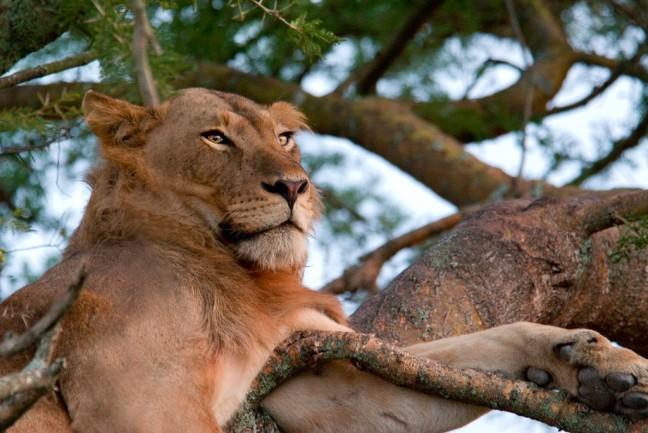 Treeclimbing lion