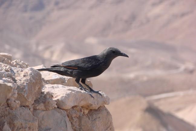 Vogel bij Rotsburcht Massada