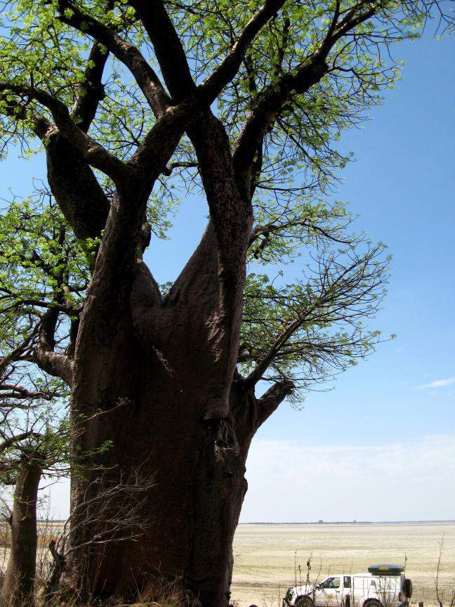 biiiiiig baobab